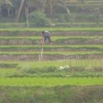 【インドネシア04】ウブド観光 Part3~ちょっと恥ずかしい名前の観光名所・キンタマーニ高原に行ってみた!