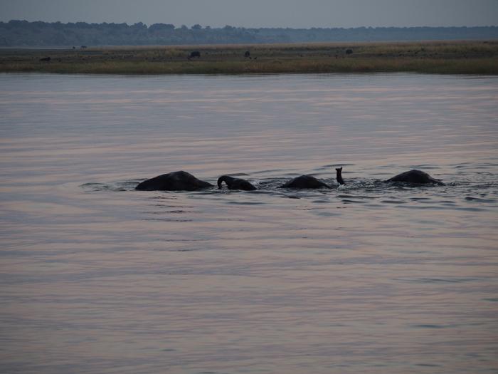 ゾウの楽園チョベ国立公園でボートサファリ! (1)