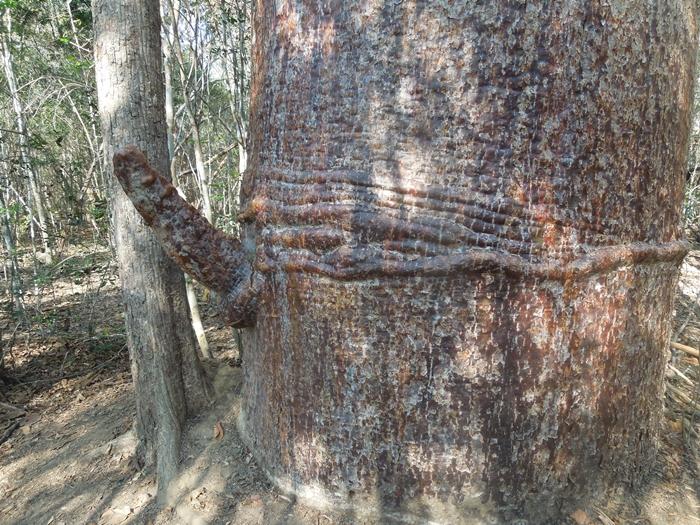 キリンディ森林保護区 過酷な道の先には。。シファカとの出会い (22)