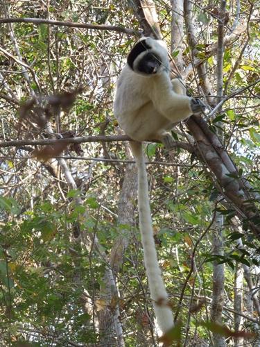 キリンディ森林保護区 過酷な道の先には。。シファカとの出会い (16)