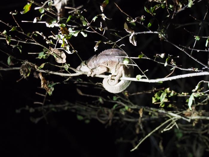 キリンディ森林保護区 過酷な道の先には。。シファカとの出会い (27)