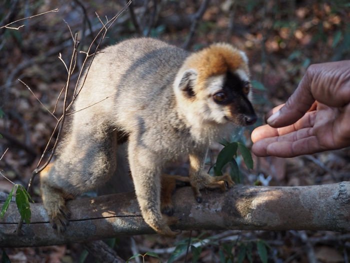 キリンディ森林保護区 過酷な道の先には。。シファカとの出会い (30)