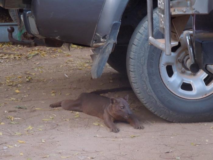 キリンディ森林保護区 過酷な道の先には。。シファカとの出会い (8)