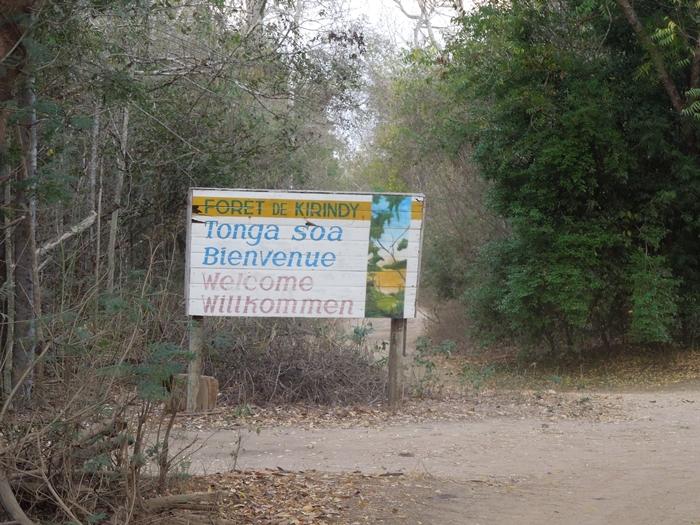キリンディ森林保護区 過酷な道の先には。。シファカとの出会い (5)