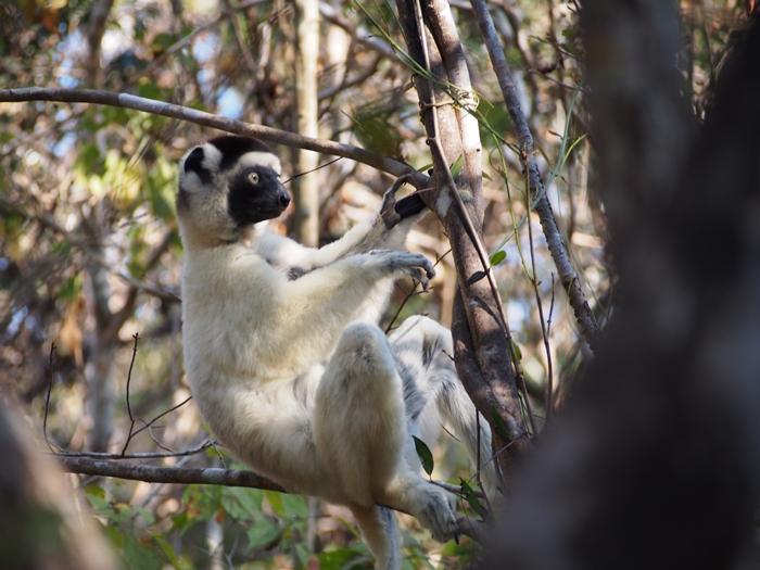 キリンディ森林保護区 過酷な道の先には。。シファカとの出会い (35)
