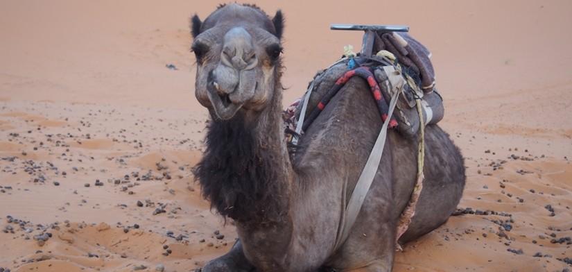 【モロッコ06】サハラ砂漠のラクダツアー。ラクダはラクじゃない!