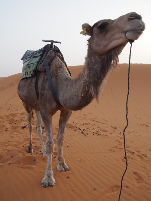 サハラ砂漠のラクダツアー。ラクダはラクじゃない!