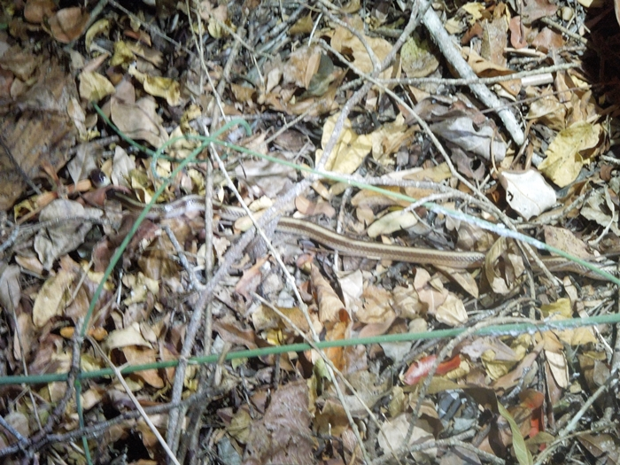 キリンディ森林保護区 過酷な道の先には。。シファカとの出会い (9)