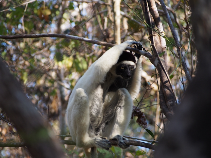 キリンディ森林保護区 過酷な道の先には。。シファカとの出会い (34)