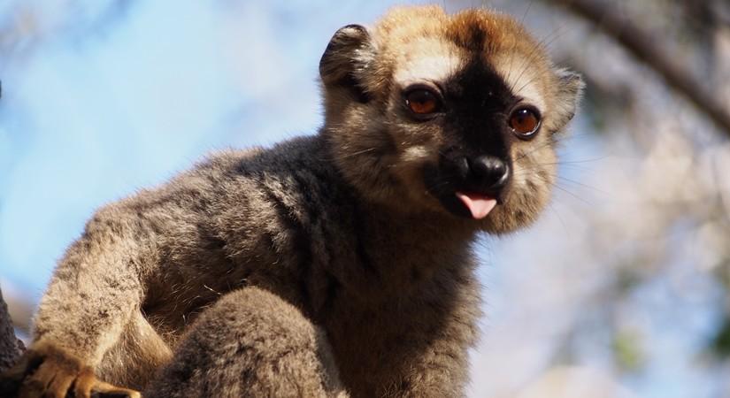 【マダガスカル05】キリンディ森林保護区 過酷な道の先には。。シファカとの出会い