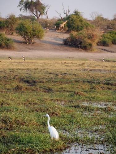 ゾウの楽園チョベ国立公園でボートサファリ! (65)
