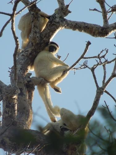 キリンディ森林保護区 過酷な道の先には。。シファカとの出会い (11)