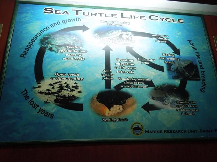 世界一のカメ島・セリンガン島 通称タートルアイランド (18)