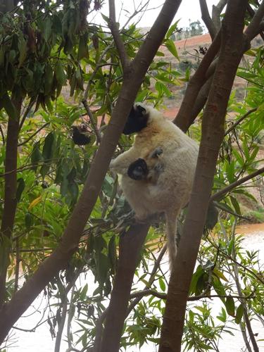 放し飼いのキツネザル園 アンタナナリボのレミュールパーク (4)