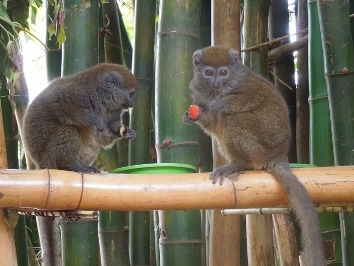放し飼いのキツネザル園 アンタナナリボのレミュールパーク (22)