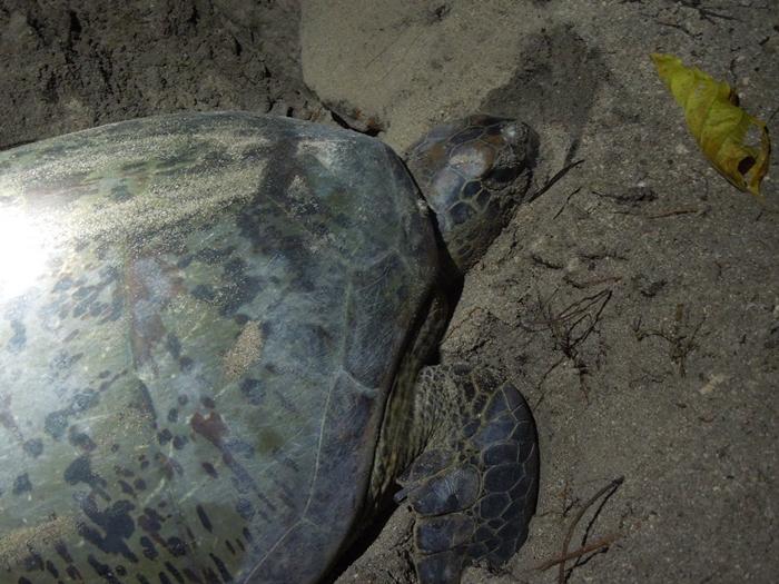 世界一のカメ島・セリンガン島 通称タートルアイランド (21)