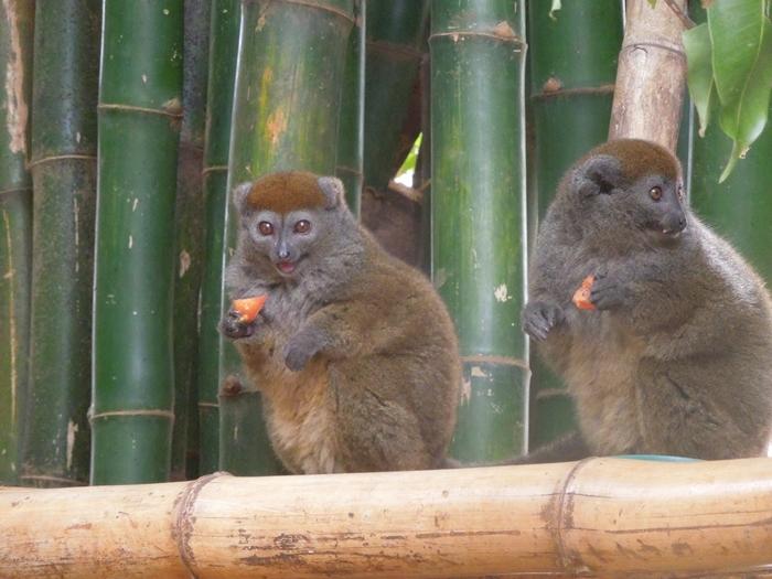 放し飼いのキツネザル園 アンタナナリボのレミュールパーク (25)