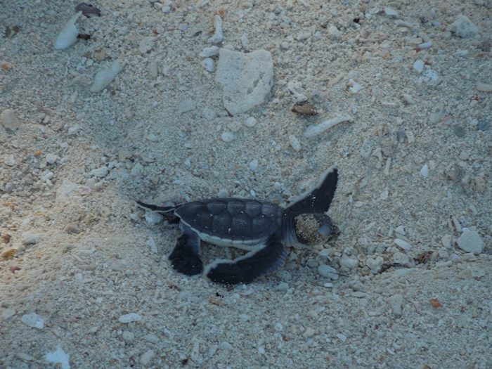 世界一のカメ島・セリンガン島 通称タートルアイランド (10)