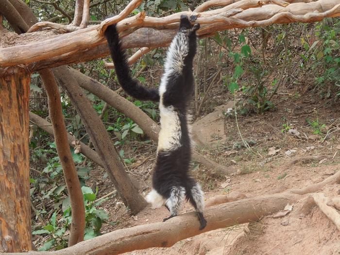放し飼いのキツネザル園 アンタナナリボのレミュールパーク (20)