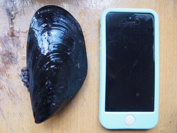 【チリ07】サーモン!ムール貝!!ウニ!!!チロエ島で海産物三昧の日々 (23)
