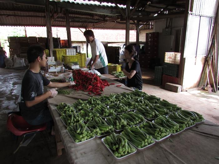 ブラジルで農業体験!~弓場農場の一日~ (14)