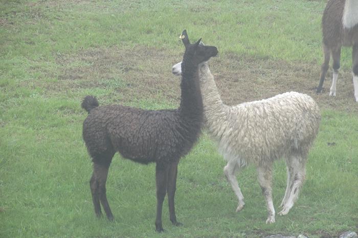 【ペルー06 世界遺産】雨降りしきる空中都市マチュピチュ (7)