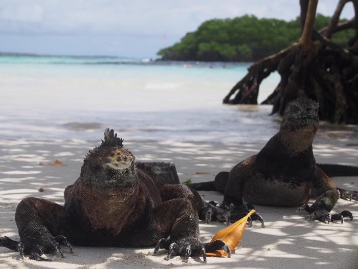 【エクアドル03】世界でここだけ!イグアナと泳げるビーチ。ガラパゴスPart2(サンタクルス島) (51)