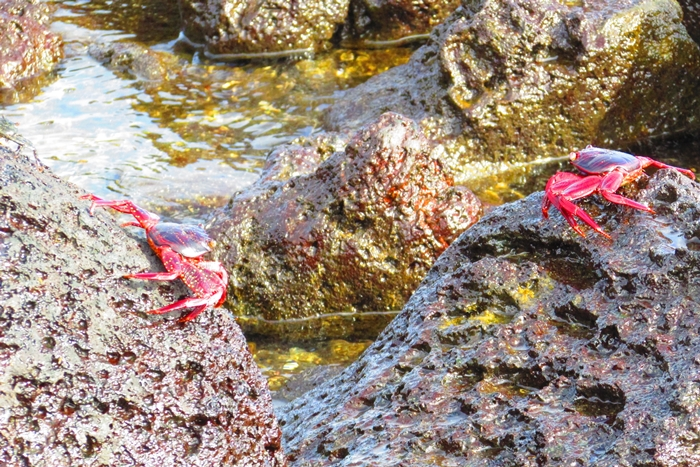 【エクアドル03】世界でここだけ!イグアナと泳げるビーチ。ガラパゴスPart2(サンタクルス島) (11)