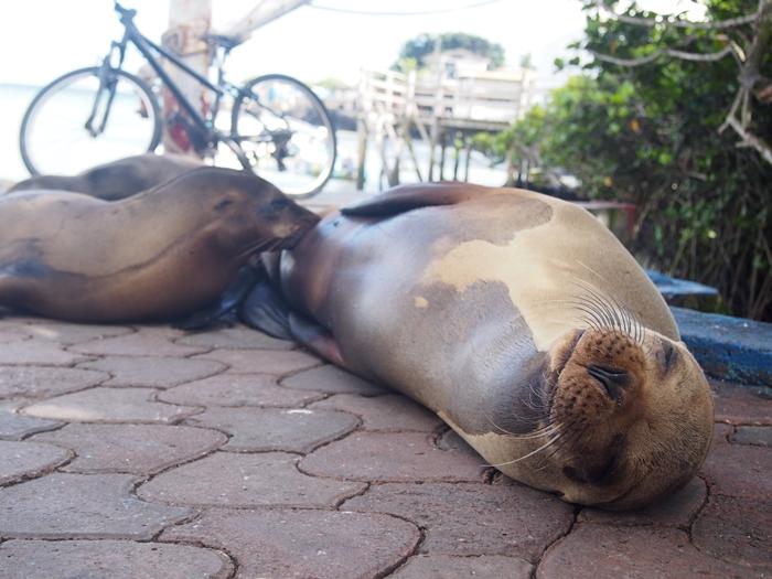 【エクアドル02】ゾウガメ!イグアナ!アシカ!ガラパゴスPart1(サンタクルス島) (34)