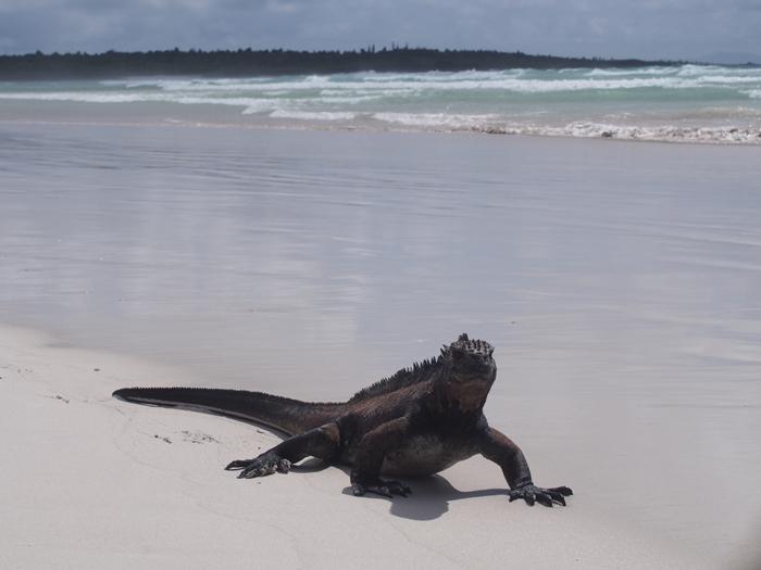 【エクアドル03】世界でここだけ!イグアナと泳げるビーチ。ガラパゴスPart2(サンタクルス島) (46)