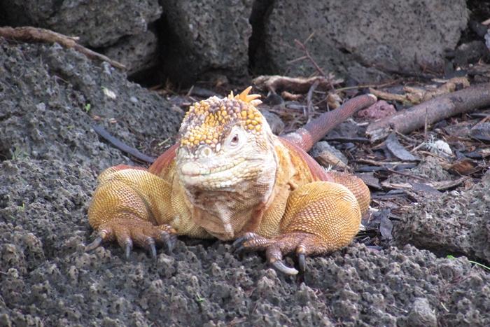 【エクアドル02】ゾウガメ!イグアナ!アシカ!ガラパゴスPart1(サンタクルス島) (17)