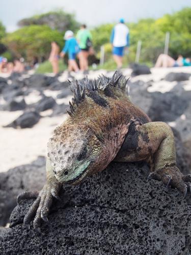 【エクアドル03】世界でここだけ!イグアナと泳げるビーチ。ガラパゴスPart2(サンタクルス島) (30)