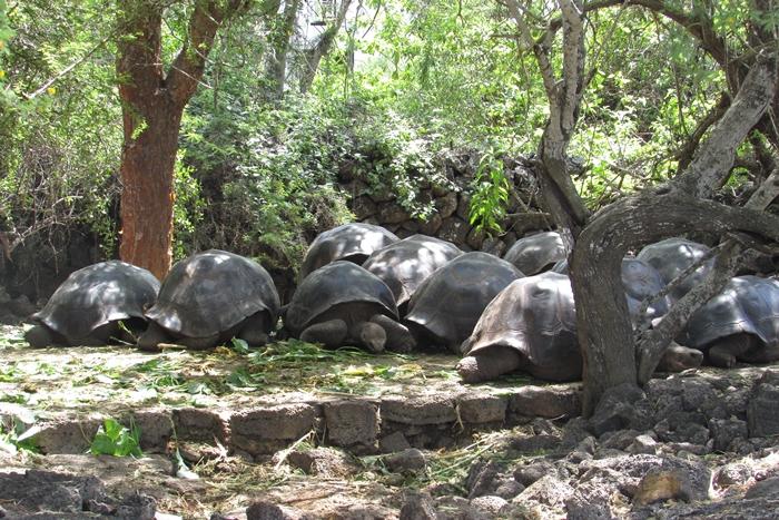 【エクアドル02】ゾウガメ!イグアナ!アシカ!ガラパゴスPart1(サンタクルス島) (4)