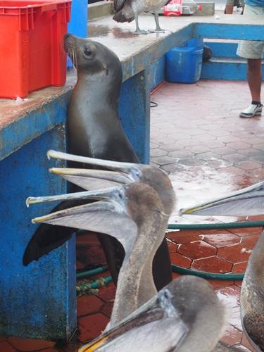 【エクアドル02】ゾウガメ!イグアナ!アシカ!ガラパゴスPart1(サンタクルス島) (43)