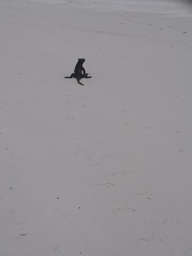 【エクアドル03】世界でここだけ!イグアナと泳げるビーチ。ガラパゴスPart2(サンタクルス島) (43)