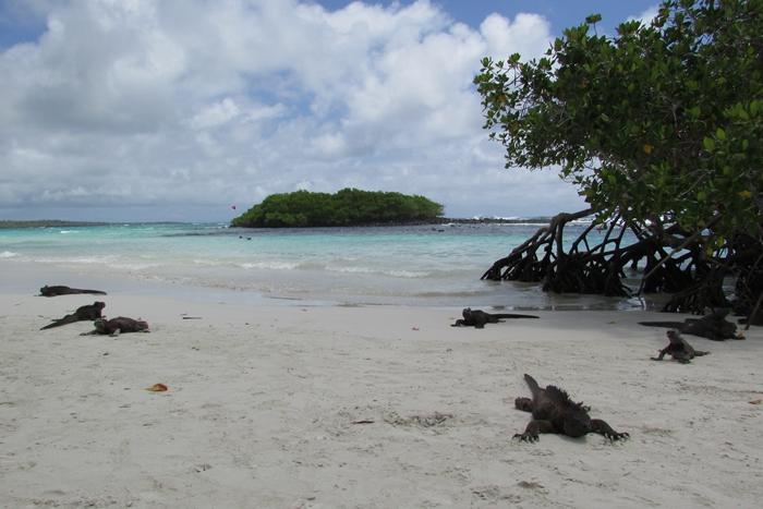 【エクアドル03】世界でここだけ!イグアナと泳げるビーチ。ガラパゴスPart2(サンタクルス島) (6)