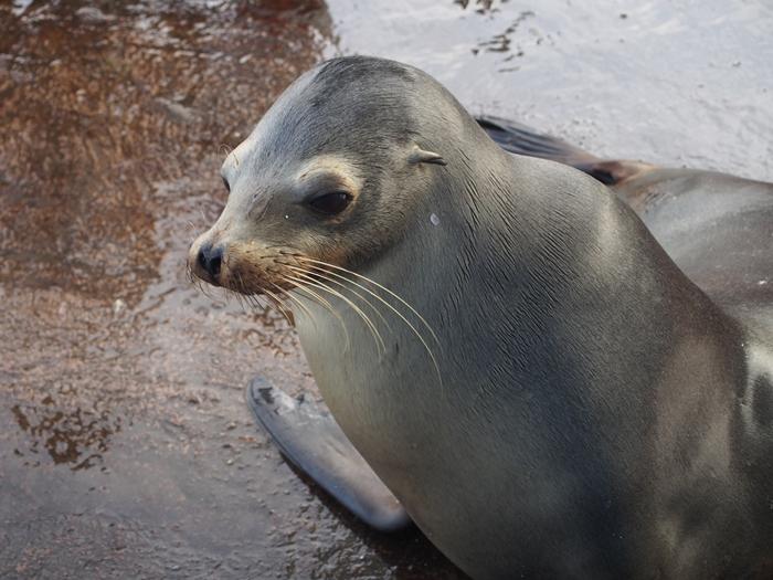 【エクアドル02】ゾウガメ!イグアナ!アシカ!ガラパゴスPart1(サンタクルス島) (30)