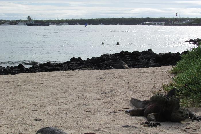 【エクアドル03】世界でここだけ!イグアナと泳げるビーチ。ガラパゴスPart2(サンタクルス島) (8)
