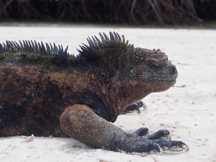 【エクアドル03】世界でここだけ!イグアナと泳げるビーチ。ガラパゴスPart2(サンタクルス島) (1)
