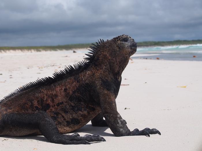 【エクアドル03】世界でここだけ!イグアナと泳げるビーチ。ガラパゴスPart2(サンタクルス島) (52)