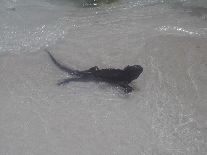 【エクアドル03】世界でここだけ!イグアナと泳げるビーチ。ガラパゴスPart2(サンタクルス島) (2)