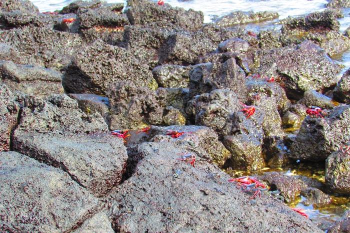 【エクアドル03】世界でここだけ!イグアナと泳げるビーチ。ガラパゴスPart2(サンタクルス島) (10)