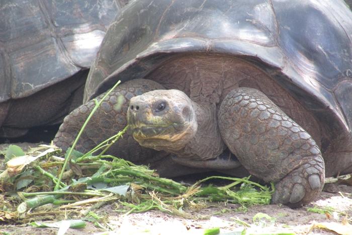 【エクアドル02】ゾウガメ!イグアナ!アシカ!ガラパゴスPart1(サンタクルス島) (5)