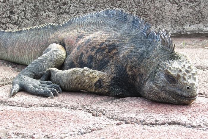 【エクアドル02】ゾウガメ!イグアナ!アシカ!ガラパゴスPart1(サンタクルス島) (9)