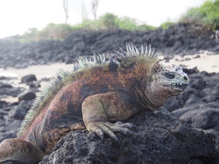 【エクアドル03】世界でここだけ!イグアナと泳げるビーチ。ガラパゴスPart2(サンタクルス島) (29)