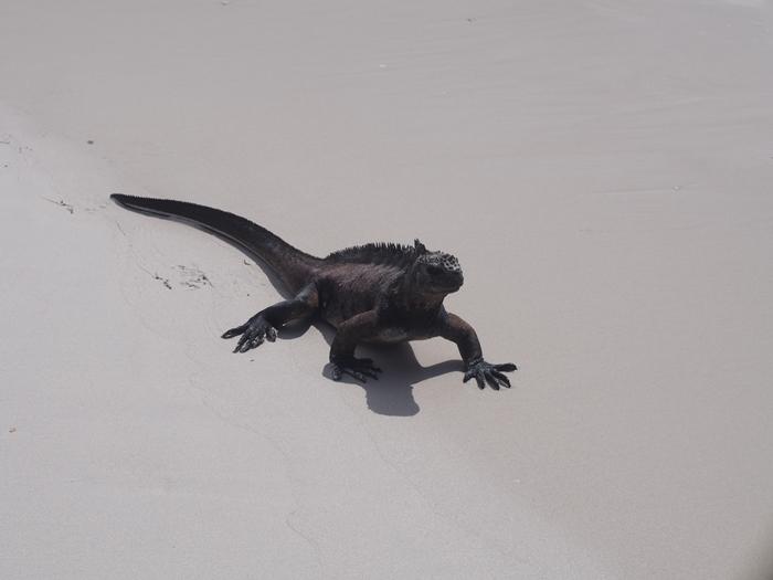 【エクアドル03】世界でここだけ!イグアナと泳げるビーチ。ガラパゴスPart2(サンタクルス島) (45)