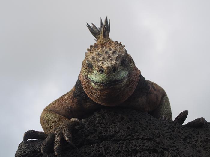 【エクアドル03】世界でここだけ!イグアナと泳げるビーチ。ガラパゴスPart2(サンタクルス島) (31)