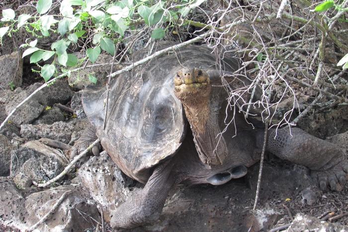 【エクアドル02】ゾウガメ!イグアナ!アシカ!ガラパゴスPart1(サンタクルス島) (15)