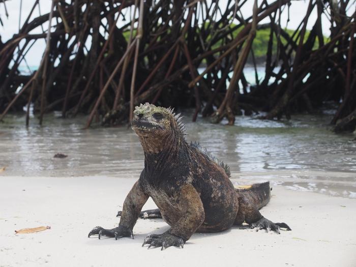 【エクアドル03】世界でここだけ!イグアナと泳げるビーチ。ガラパゴスPart2(サンタクルス島) (49)