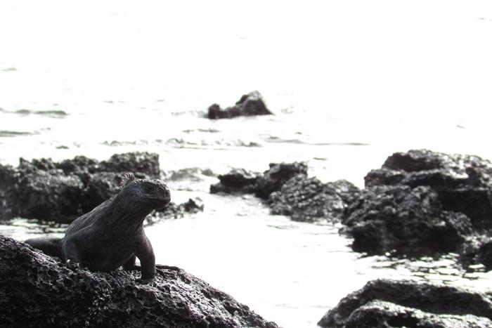 【エクアドル03】世界でここだけ!イグアナと泳げるビーチ。ガラパゴスPart2(サンタクルス島) (12)